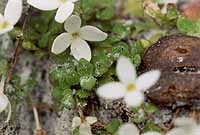 Houstonia procumbens